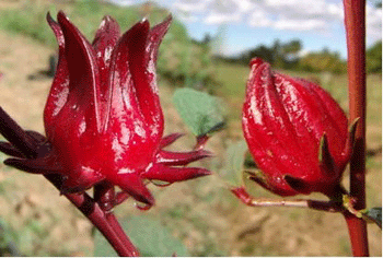 rosa-jamaica2
